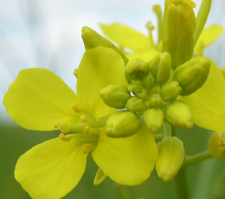 how to distinguish mustard from canola mustard production manual