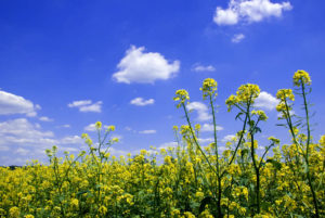 Mustard Crop in the Field
